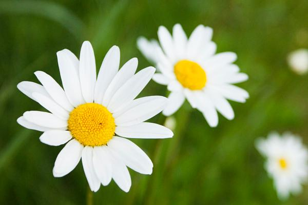 Click here to view Daisy