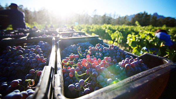 View Grapes for Winemaking